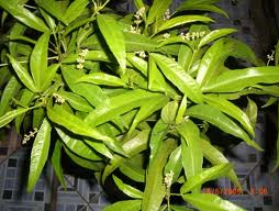 Bunga Zodia (Pic: id.wikipedia.org)