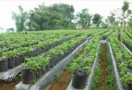 Cara Budidaya Dan Menanam Strawberry Sampai Panen