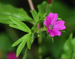Bunga Geranium (Pic: en.wikipedia.org)