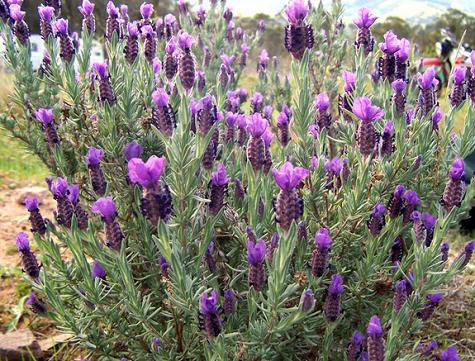 Tanaman bunga pot pengusir nyamuk